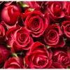 dia dos namorados gosto de rosas vermelhas e brancas